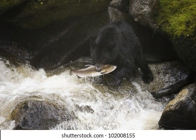 A Humpback salmon run up Anan Creek is fishing opportunity for the Black Bear (Ursus americanus) in the area. Tongass National Forest, Southeast Alaska.