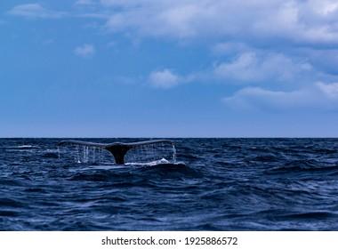 A Humpback Whale in Amamioshima