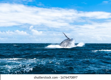 humpback whale in the Atlantic ocean in the Dominican Republic