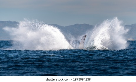 Humpback whale beats its fin on the surface of the blue ocean with mountains on the background causing a huge splash during whale watching tour in Puerto Vallarta, Bahia de Banderas, Mexico