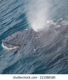A Humpback whale blows after surfacing