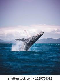 Humpback Whale Breach - Whitsundays, Australia