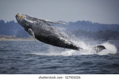 A humpback whale breaches clear out of the water in Monterey Bay, California.