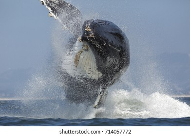A humpback whale breaches in Monterey Bay, California.