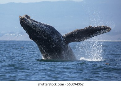 A humpback whale breaches out of the water in Monterey Bay, California.