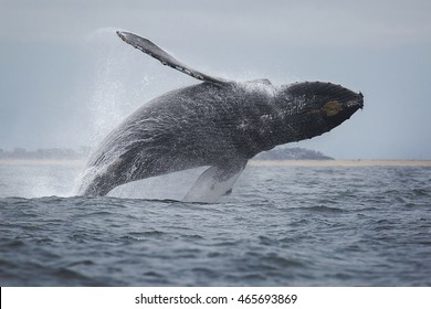 A humpback whale breaches out of the waters of Monterey Bay, California.