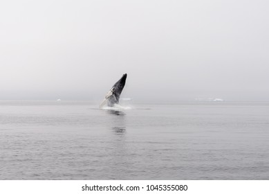 Humpback Whale Breaching in Antarctic sea