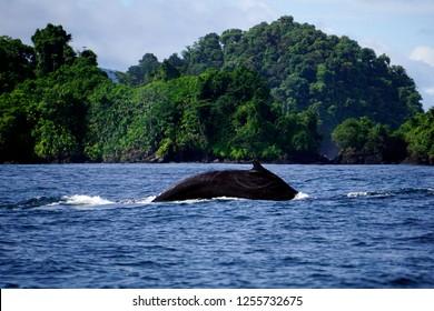 Humpback whale breaching in Bahia Solano, Choco, Colombia