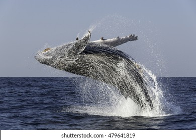 Humpback whale breaching during the annual migration of these whales north along the east coast of South Africa to the warmer waters of Mozambique.