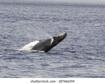 Humpback whale breaching from a gray-blue sea