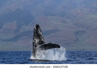 Humpback whale breaching in Lahaiana on Maui.
