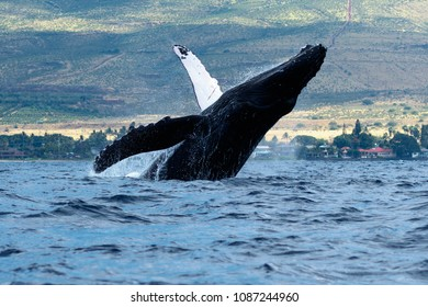 Humpback whale breaching in Lahaina, Maui,  Hawaii, Taken 01.2018