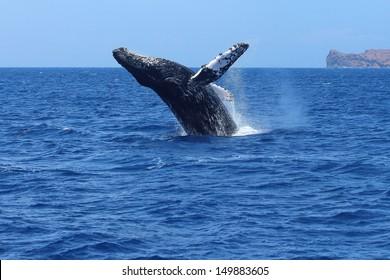 Humpback whale breaching in Maui, Hawaii. Megaptera novaeangliae