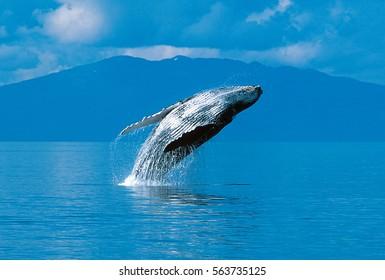 Humpback whale breaching (Megaptera novaeangliae), Alaska, Southeast Alaska, near Frederick Sound, Taken 07.96