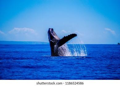 Humpback whale breaching off the coast of Maui, Hawaii