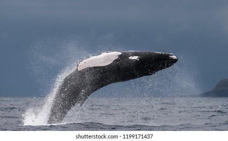 Humpback whale breaching off the coast of Pico Island, Azores.