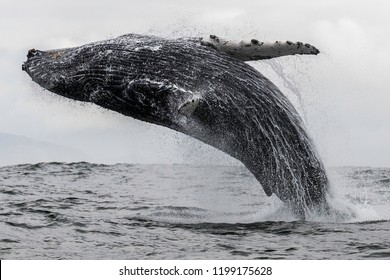 Humpback whale breaching off the coast of Langebaan, South Africa.