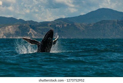 A Humpback Whale Breaching off the Coast of Kaikoura New Zealand