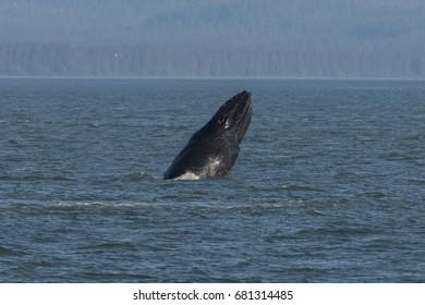 Humpback whale breaching outside of Juneau, Alaska