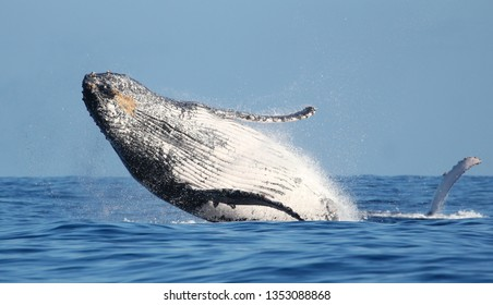 Humpback whale breaching in Reunion Island
