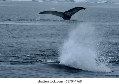 Humpback whale breaching with second whale fin visible in background in the waters off Cuverville Island, Antarctica
