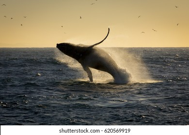 humpback whale breaching. South Africa