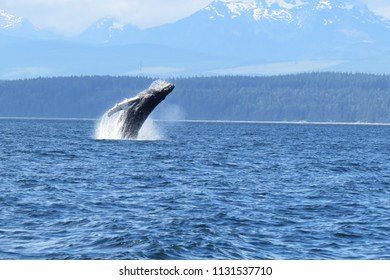 Humpback whale breaching, in the Sutil Channel, near Quadra and Cortez Islands, British Columbia, Canada