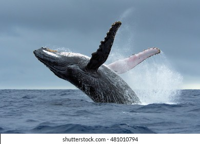 Humpback Whale breaching in Tonga waters
