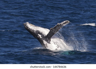 Humpback whale breaching in Whitsundays