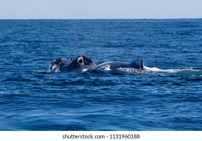 Humpback whale breathing through blowhole in the deep blue ocean