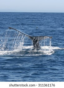 A Humpback whale brings up its tail flukes while diving