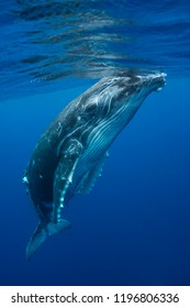 Humpback whale calf playing at the surface during the calving and mating season, Kingdom of Tonga.