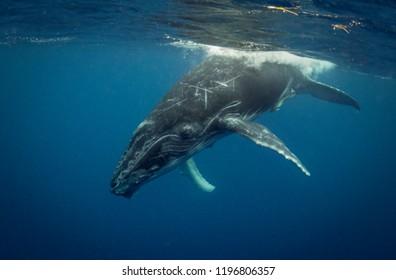 Humpback whale calf playing at the surface during the calving and mating season, Kingdom of Tonga.