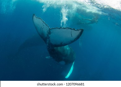 humpback whale calf playing with swimmers