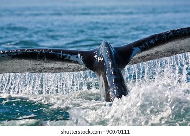Humpback Whale Dives in Blue Ocean Water, Juneau, Alaska