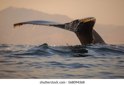A humpback whale dives into the waters of Monterey Bay, California.