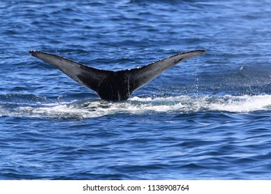 A Humpback Whale Dives Near Vancouver Island