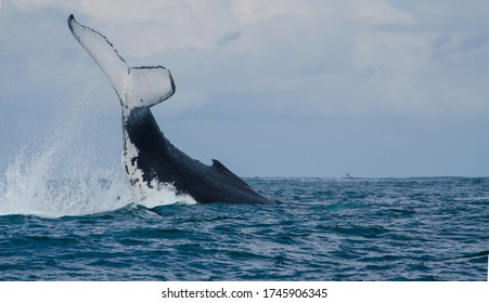 Humpback whale diving into the pacific ocean along the eastern coast of Australia.