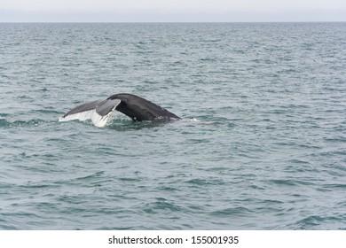 Humpback Whale diving. Megaptera novaeangliae