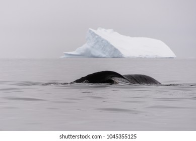 Humpback whale fluke with iceberg on background