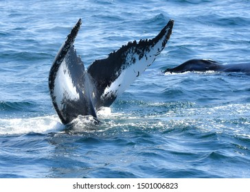 Humpback whale fluke showing the patterns of white and black that are unique to each individual whale.  The blow hole of another whale can be seen in background.