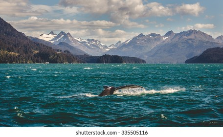 A Humpback Whale going for a dive in Homer, Alaska.