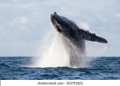 Humpback whale jump. Madagascar. The water area of the island of St. Mary.
