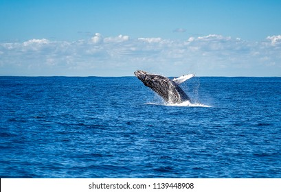 Humpback whale jumping out of the water. The whale is of dark colour