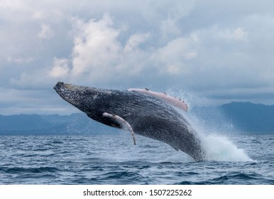 Humpback whale jumping out of the water off the coast of Nuquí in Colombia.