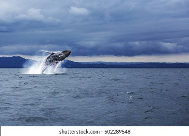 Humpback whale jumping in Samana, Dominican republic