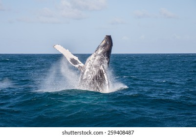 humpback whale jumping, Samana/Dominican Republic