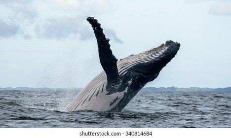 Humpback whale jumps out of the water. Madagascar. St. Mary's Island. An excellent illustration.