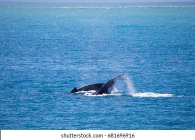 Humpback Whale, Kimberley, Australia. The largest congregation of humpback whales in the world. Gathering each year to breed in this region of Australia.