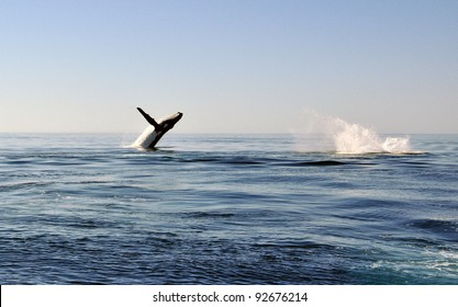 Humpback Whale Leaping Out of Water.
